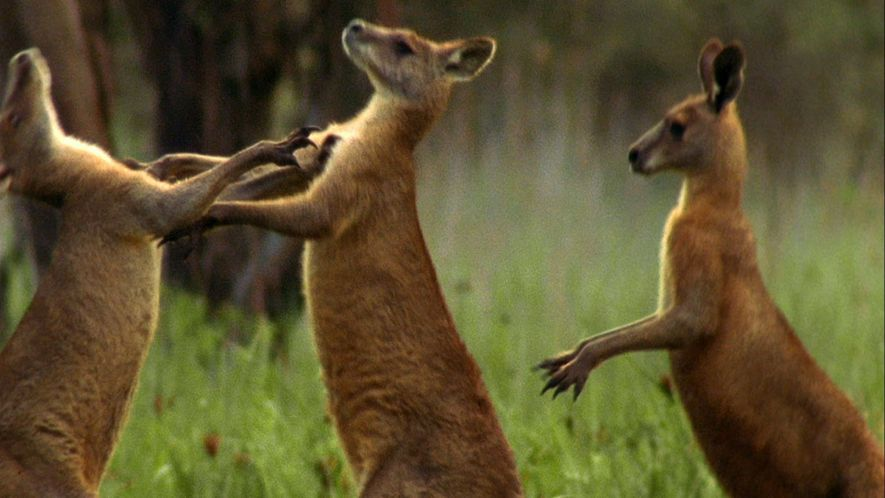 Así luchan los canguros