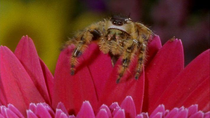 La araña saltadora tiene un campo visual de casi 360 grados