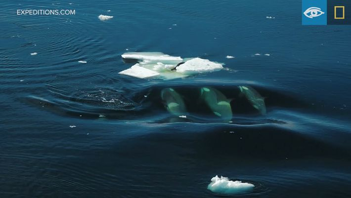 Unas orcas intentan derribar del hielo a una foca cangrejera