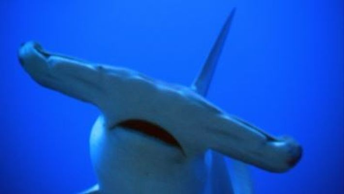 Los tiburones martillo, unos cazadores aventajados