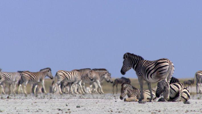 Las cebras emprenden cada año un arriesgado viaje hasta las salinas de Makgadikgadi