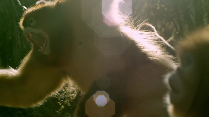 Así pelean y se aparean los monos dorados de nariz chata