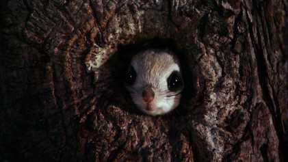 """Vídeo: La ardilla voladora, el animal con """"paracaídas"""" incorporado"""