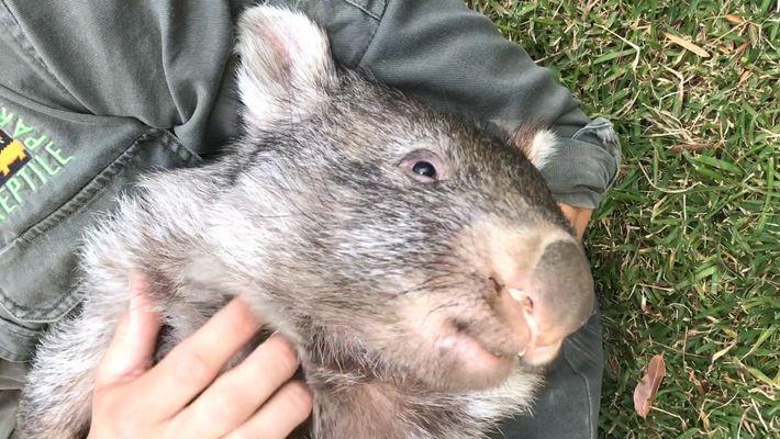George el wómbat comienza una nueva vida en estado salvaje