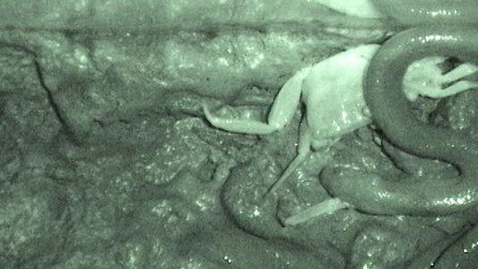 VÍDEO: La serpiente que no traga a sus presas de una pieza, las desgarra