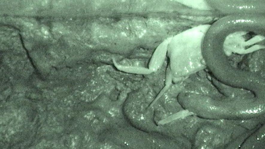 Esta serpiente no engulle a sus presas enteras, las desgarra