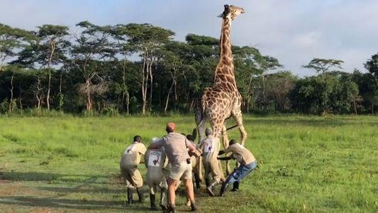 VÍDEO: El rescate de una jirafa en el Santuario de Mikembo