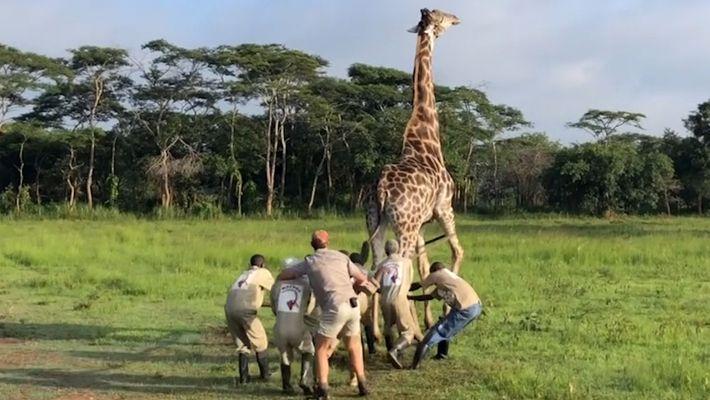 Así rescataron a una jirafa con un alambre metálico alrededor del cuello