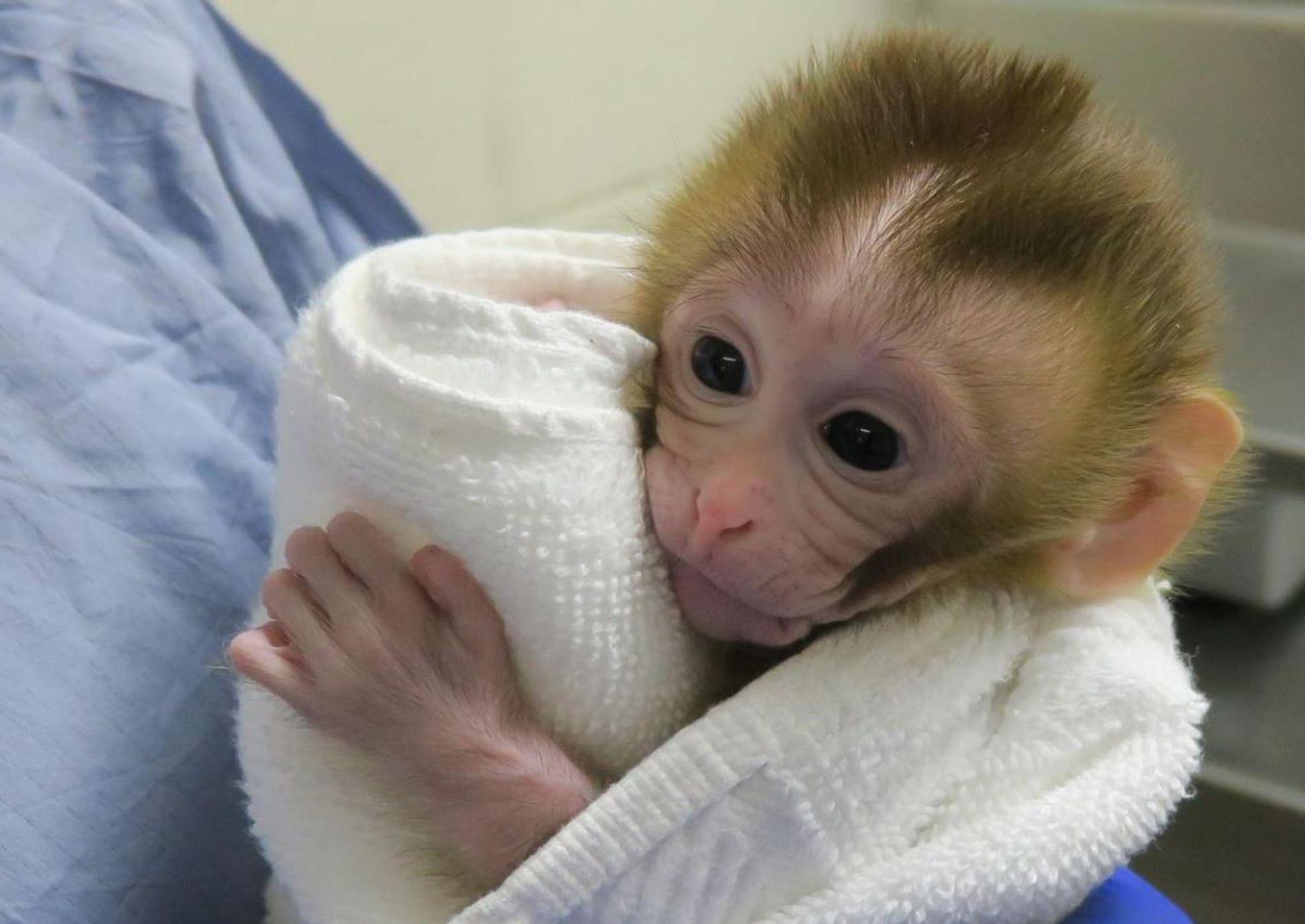 Fertilidad monos testiculo congelado