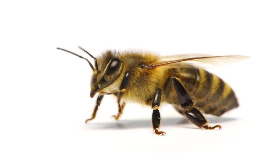 ¿Cómo saben las abejas cuál es su trabajo?