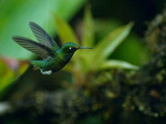 Vídeo: Este colibrí busca néctar en plena tormenta