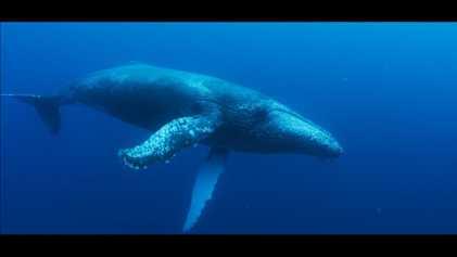 La historia de la asombrosa recuperación de las ballenas jorobadas en Sudáfrica