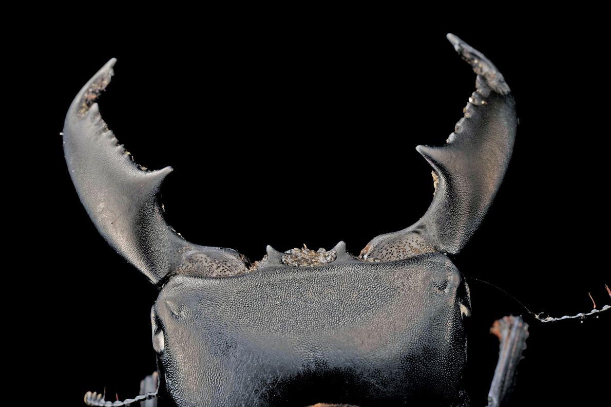 Escarabajo Dorcus titanus