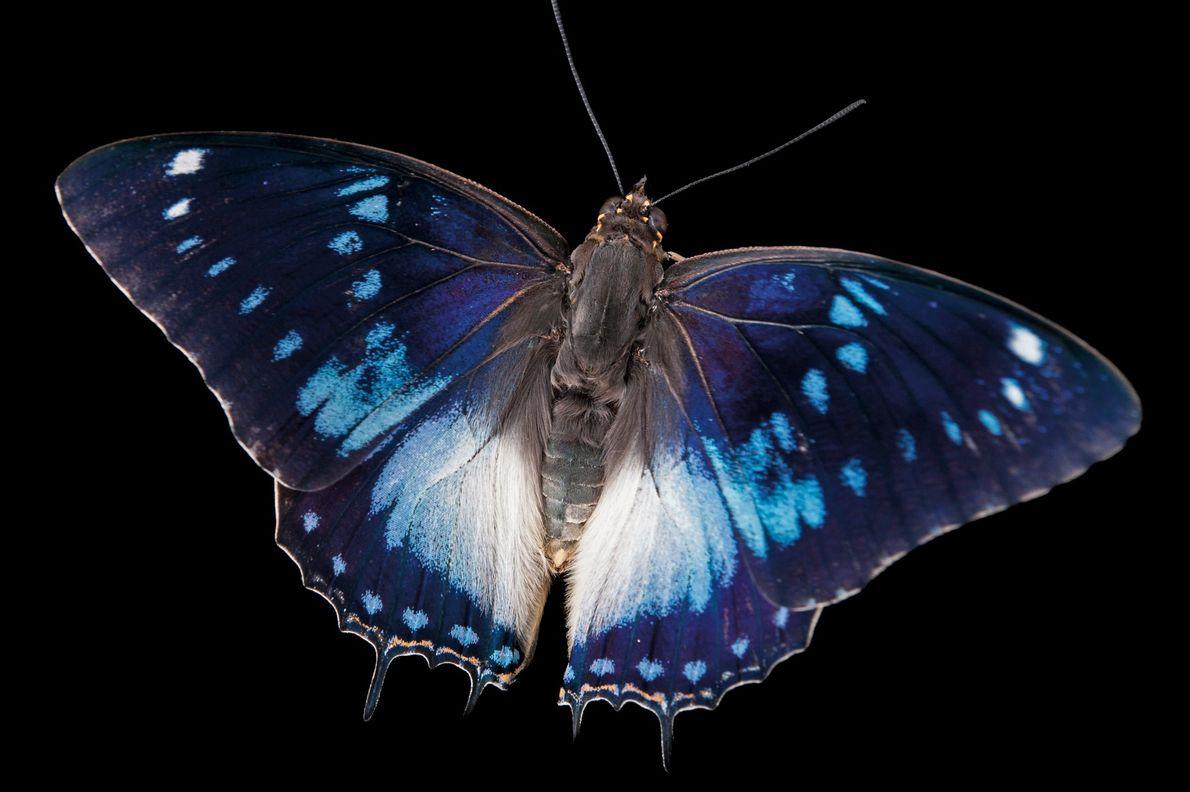 Mariposa Charaxes cithaeron