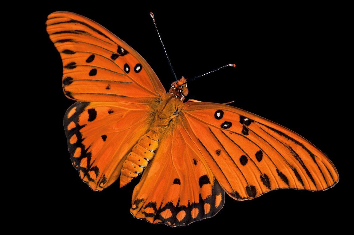 Mariposa Agraulis vanillae incarnata
