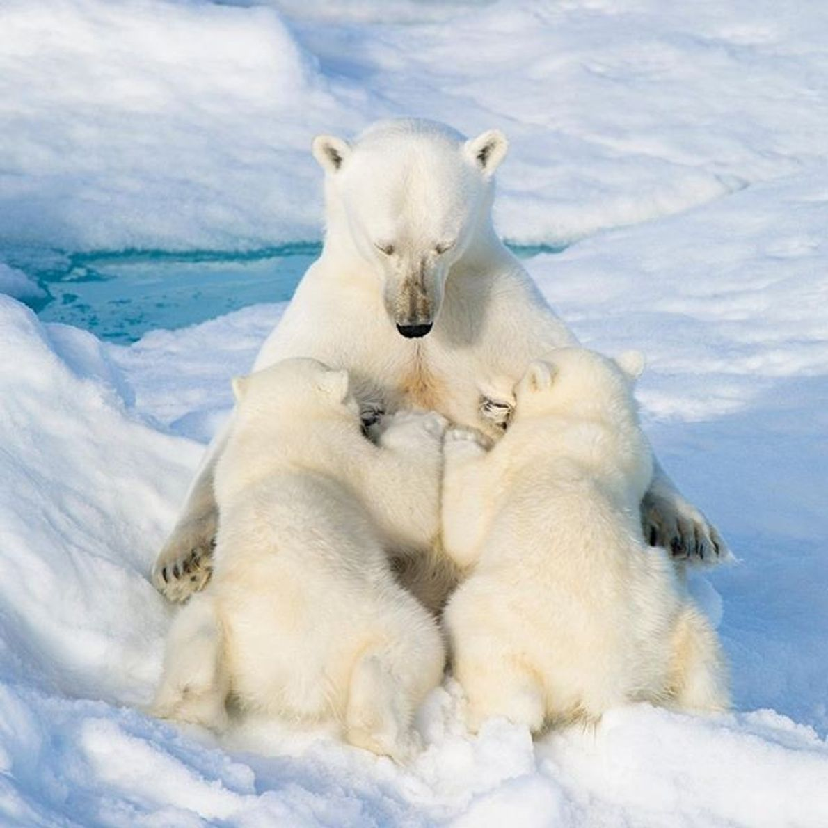 Una osa polar