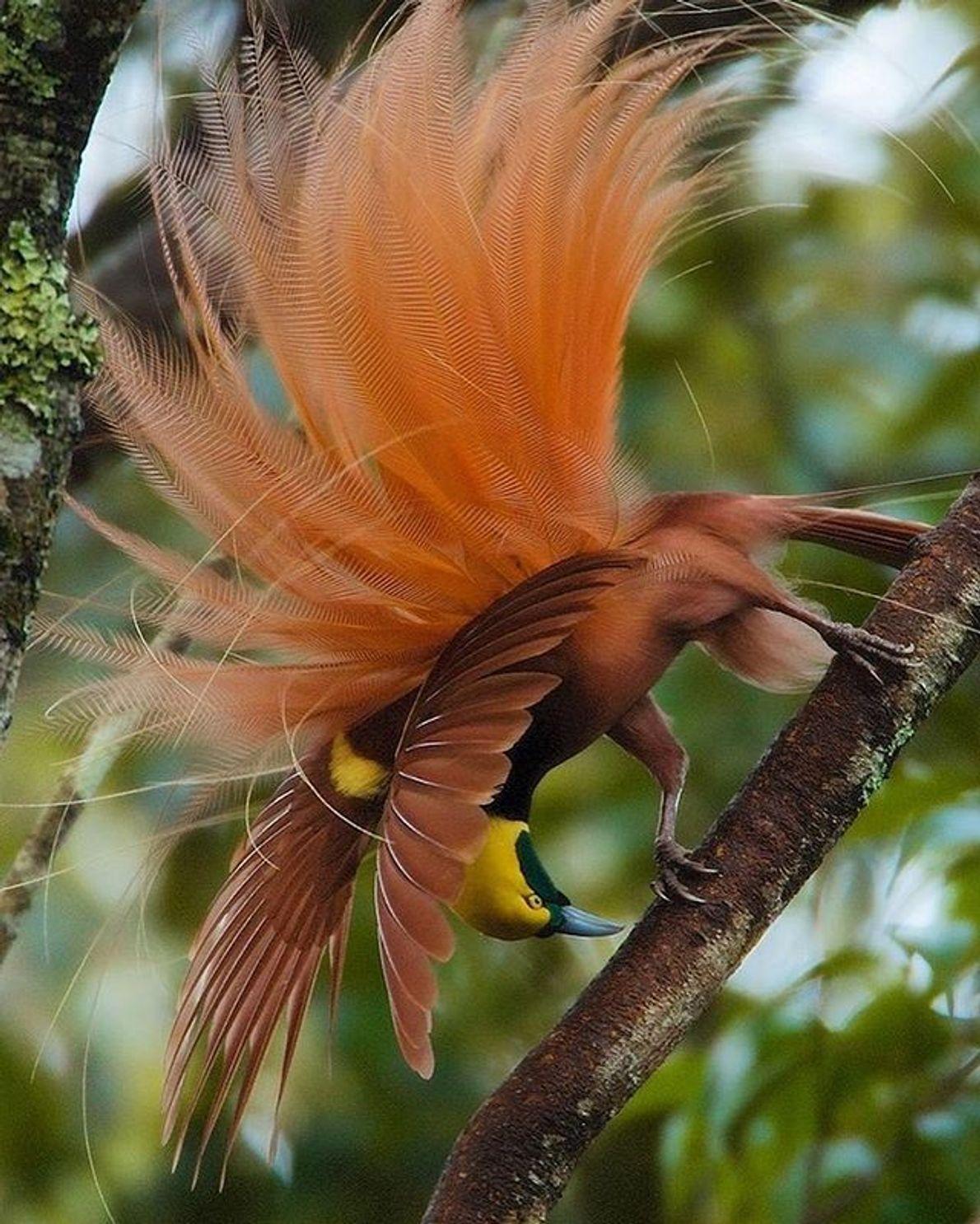 Un ave del paraíso raggiana