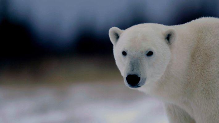 Día Internacional del Oso Polar