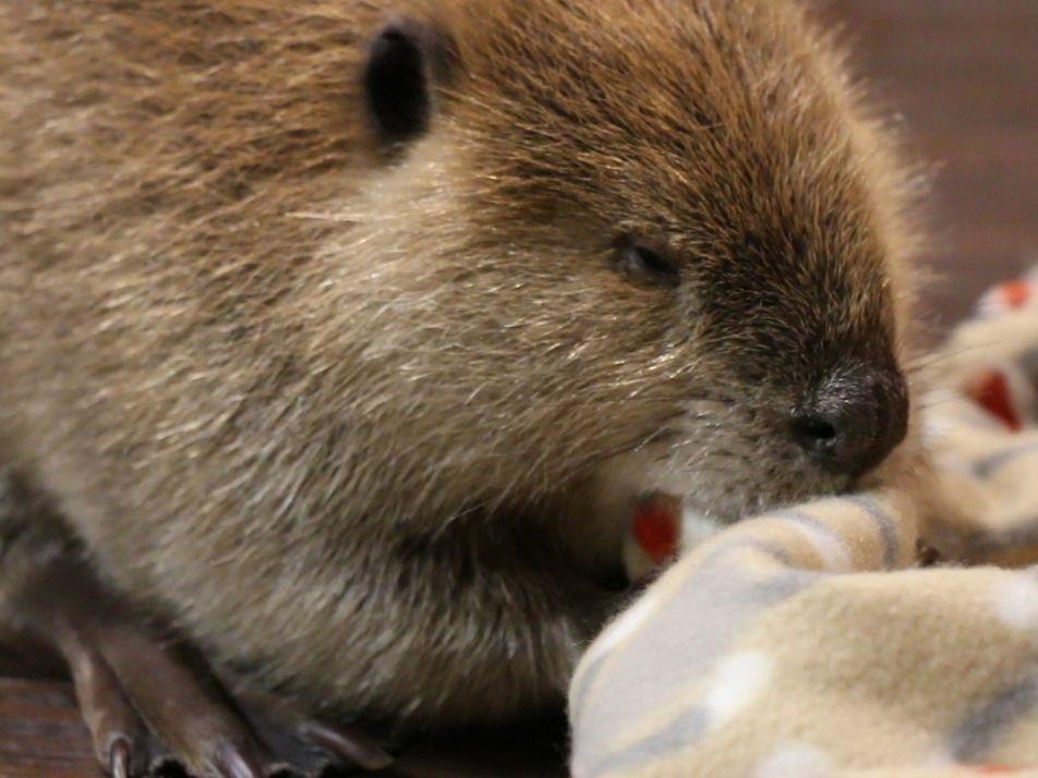 Los animales rescatados Justin Beaver y Arnie el armadillo tienen una nueva misión