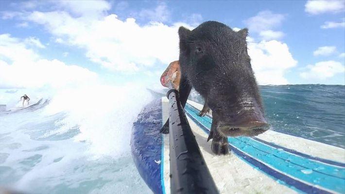 Kama, el cerdo surfista