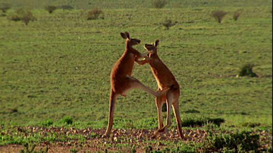 VÍDEO: Así es un combate entre canguros