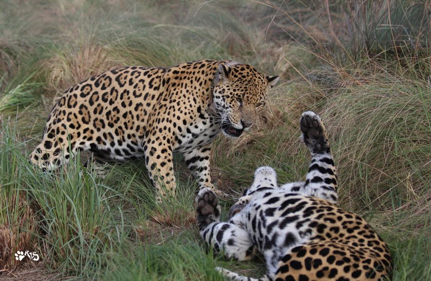 Rewilding Americas