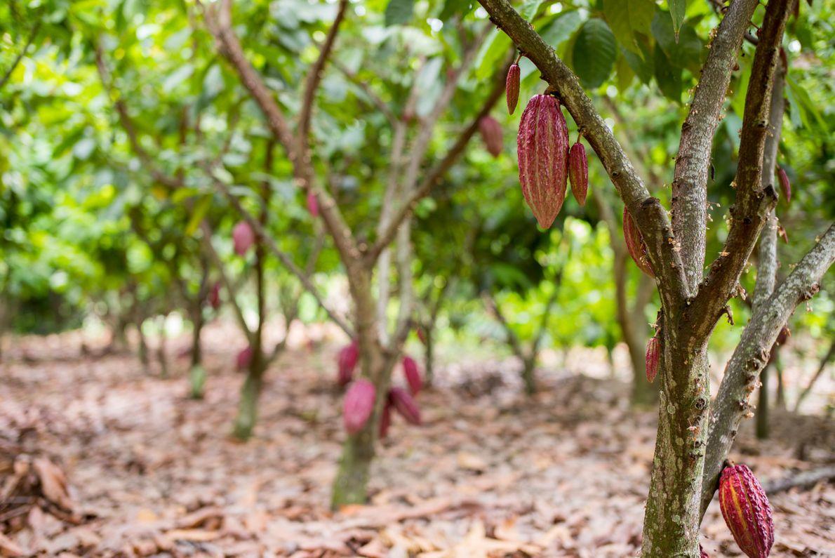 Chacra cacaotera