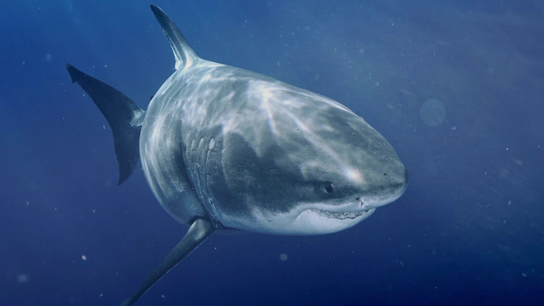 Largest_White_Shark_ES~~~~~es~mux~~1.png