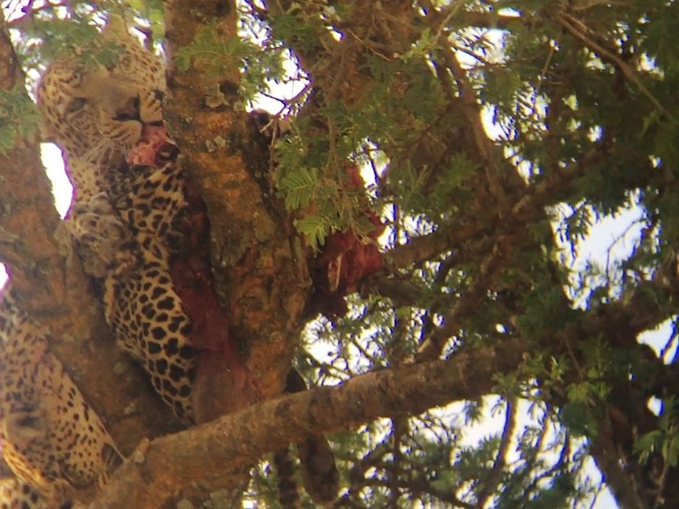 Un leopardo devora a otro leopardo