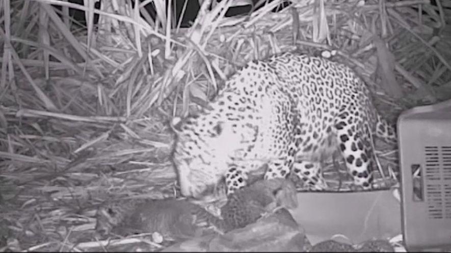 El tierno reencuentro de tres cachorros de leopardo con su madre