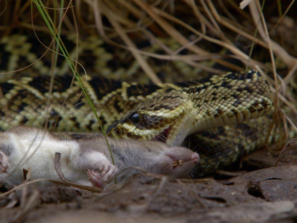Vídeo: Así es el ataque mortal de la serpiente de cascabel más grande del mundo