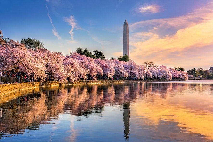 Los cerezos en flor exhiben su color rosa cada primavera en torno a la Cuenca Tidal ...