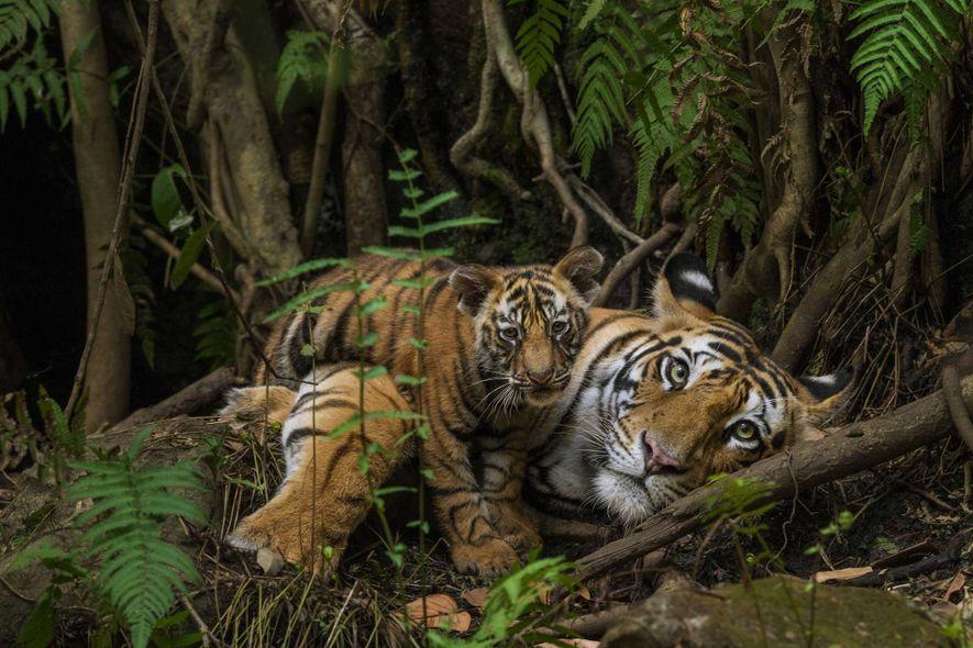 Publicado tanto en la revista Traveler como en el libro de 2013 Tigers Forever, esta serena ...