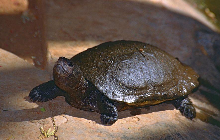 Tortuga de cuello oculto de Madagascar