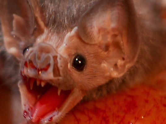 Conoce al Drácula de la vida real: el murciélago vampiro