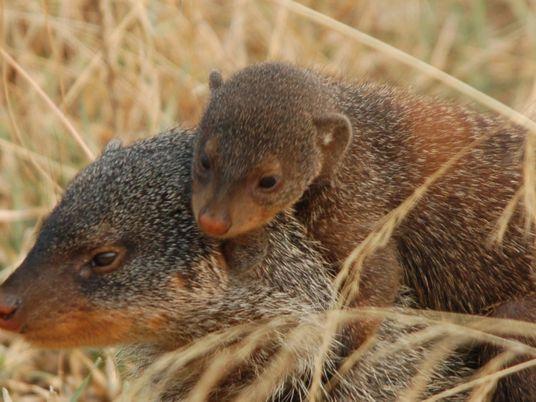 Las mangostas adultas ejercen de mentoras para las crías