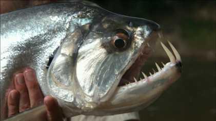 VÍDEO: Los dientes del 'pez vampiro' están hechos de la sustancia biológica más dura que se ...