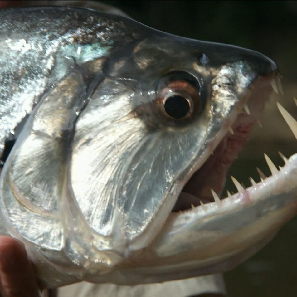 El pez vampiro tiene dientes aterradores