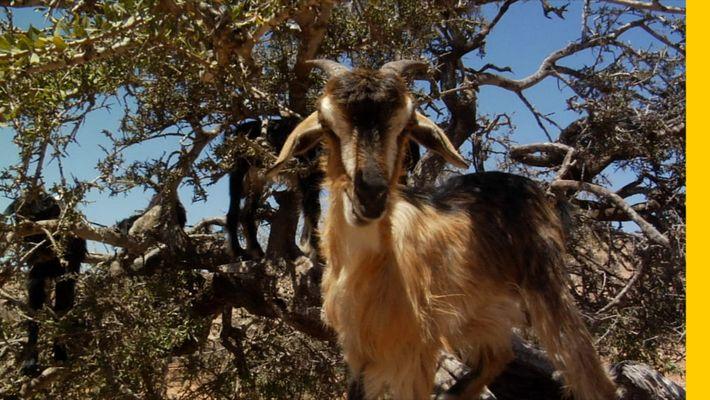 Las cabras trepadoras de árboles de Marruecos