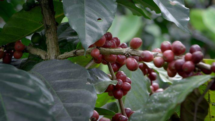 El programa agroforestal que garantiza el futuro del café en Guatemala