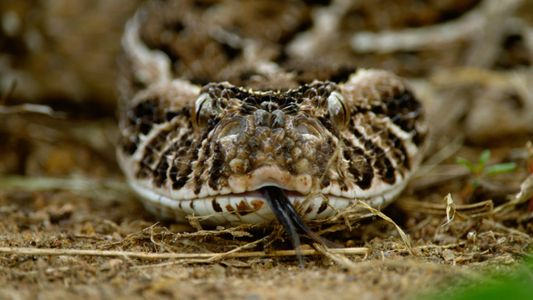 Así muda la piel la víbora bufadora, la serpiente con el ataque más rápido del mundo