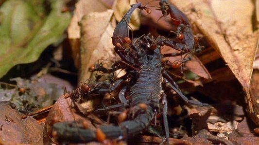 Las hormigas guerreras comen de todo