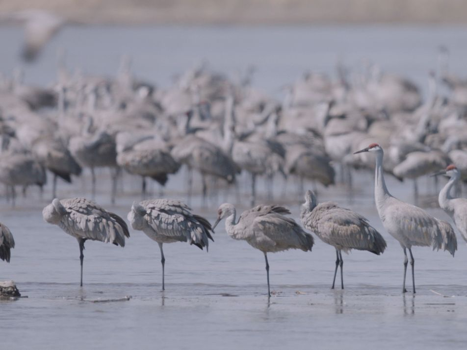 Miles de grullas emprenden el vuelo en una de las grandes migraciones de la Tierra