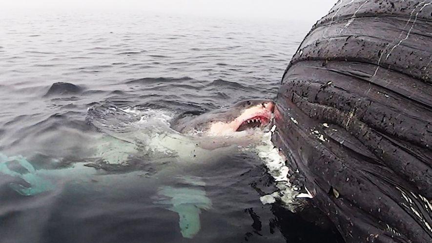 Un tiburón blanco devora a una ballena muerta durante 18 horas