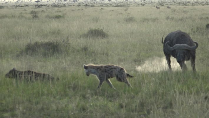 Estos búfalos protegen a su cría de las hienas