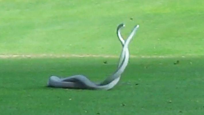 Dos de las serpientes más mortales del mundo luchan en un campo de golf