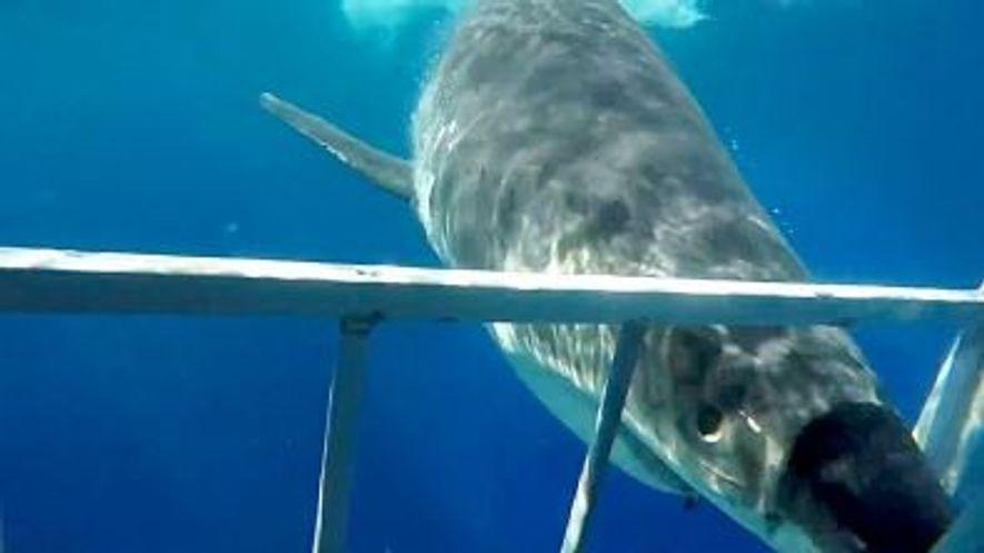 Un gran tiburón blanco choca y rompe la jaula de un buceador