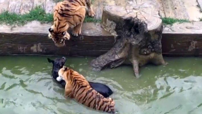 Un asno vivo condenado a servir de alimento para los tigres en este zoo chino