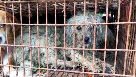 La carne de perro todavía se vende en el polémico festival de Yulin