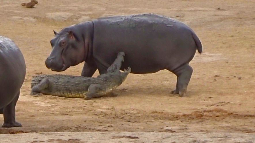Un cocodrilo es perseguido incesantemente por un joven hipopótamo